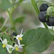 آیا میدانید تمام گیاهان خانواده تاجریزی سمی اند؟
