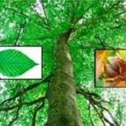 آیا میدانید میوه درخت راش چه فایده ای دارد؟