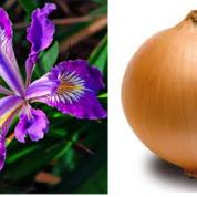 آیا میدانید از چه جهت پیاز ها و زنبق ها به یکدیگر شبیهند؟