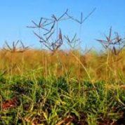 آیا میدانید چرا گیاه شبدر پنجه مرغی چنین نامیده می شود؟