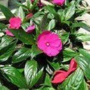 آیا میدانید چرا حنا به گل بی صبر معروف است؟