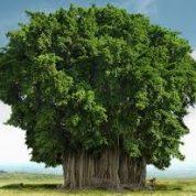 آیا میدانید چرا درخت بانیان تا این حد بزرگ می شوند؟