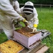 آیا میدانید عسل گیری از شان چگونه است؟