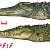 آیا میدانید تمساح و کروکودیل چه تفاوتی دارند؟