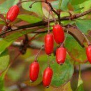 آیا میدانید گیاه زرشک چیست و چه خاصیتی دارد؟