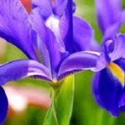 آیا میدانید گیاه زنبق چیست و چه خاصیتی دارد؟
