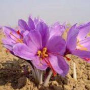 آیا میدانید گیاه  زعفران چیست و چه خاصیتی دارد؟