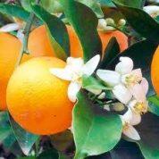 آیا میدانید گیاه بهارنارنج چیست و چه خواصی دارد؟