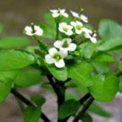 آیا میدانید گیاه بولاغ اوتی چیست و چه خواصی دارد؟