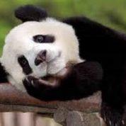 آیا میدانید پاندا چه نوع حیوانی است؟