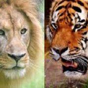 آیا میدانید شیرها و ببرها در سرزمین های یکسانی زندگی می کنند؟