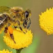 آیا میدانید زنبورها چگونه عسل می سازند؟