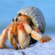 آیا میدانید خرچنگ منزوی باید لانه خود را تغییر دهد؟