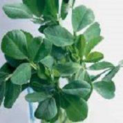 آیا میدانید گیاه شنبلیله چیست و چه خاصیتی دارد؟