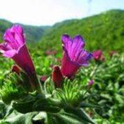 آیا میدانید گیاه گل گاو زبان چیست و چه خاصیتی دارد؟