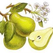 آیا میدانید گیاه گلابی چیست و چه خاصیتی دارد؟