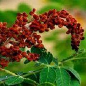 آیا میدانید گیاه سماق چیست و چه خاصیتی دارد؟