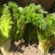 آیا میدانید گیاه کرفس وحشی چیست و چه خاصیتی دارد؟