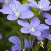آیا میدانید گیاه کتان روغنی چیست و چه خاصیتی دارد؟
