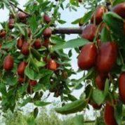 آیا میدانید گیاه عناب چیست و چه خاصیتی دارد؟