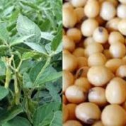 آیا میدانید گیاه لوبیای سویا چیست و چه خاصیتی دارد؟