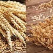 آیا میدانید گیاه سبوس گندم و جو چیست و چه خاصیتی دارند؟