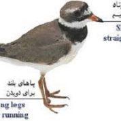 آیا میدانید کدام پرنده دشمن خود را فریب می دهد؟
