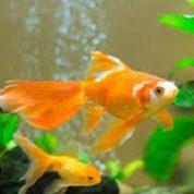 آیا میدانید کدام ماهی نوزادش را در دهانش پناه میدهد؟