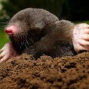 آیا میدانید موش های کور چگونه در زیرزمین زندگی می کنند؟