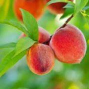 آیا میدانید گیاه هلو چیست و چه خاصیتی دارد؟