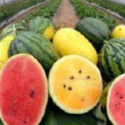 آیا میدانید گیاه هندوانه چیست و چه خاصیتی دارد؟