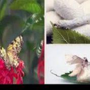 آیا میدانید چگونه کرم به پروانه تبدیل می شود؟