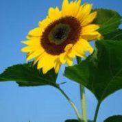 آیا میدانید گیاه آفتابگردان چیست؟