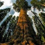 آیا میدانید بزرگترین درخت جهان کدام است؟