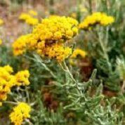 آیا میدانید گیاه بومادران چه خواصی دارد؟