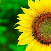 آیا میدانید گیاه آفتابگردان چه خواص دارویی دارد؟