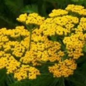 آیا میدانید گیاه بومادران چیست؟