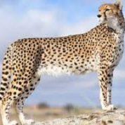 آیا میدانید کدام حیوان سریعتر از حیوانات دیگر می دود؟