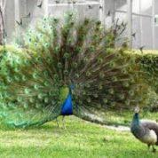 آیا میدانید چرا طاووس نر دمش را باز می کند؟