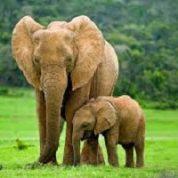 آیا میدانید چرا فیل گوش های بسیار بزرگی دارد؟