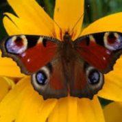 آیا میدانید چرا بعضی از پروانه ها و بیدها روی بالهایشان چشم دارند؟